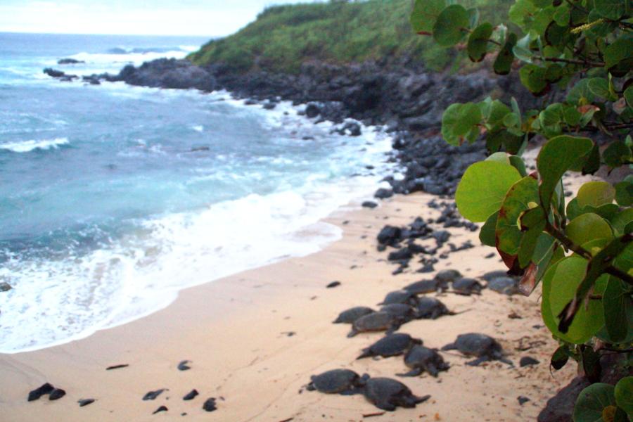Meeresschildkröten Maui