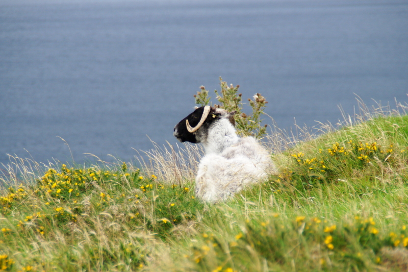 Brandon Point Sheep Dingle Ireland